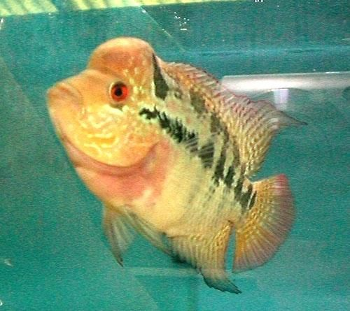 Flower horn fish for sale in gujrat for just 350 rupees for Flowerhorn fish for sale