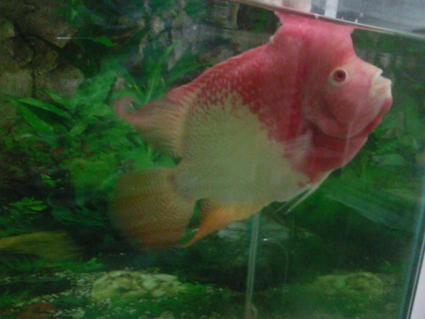 Albino male flowerhorn for sale for Flower horn fish price